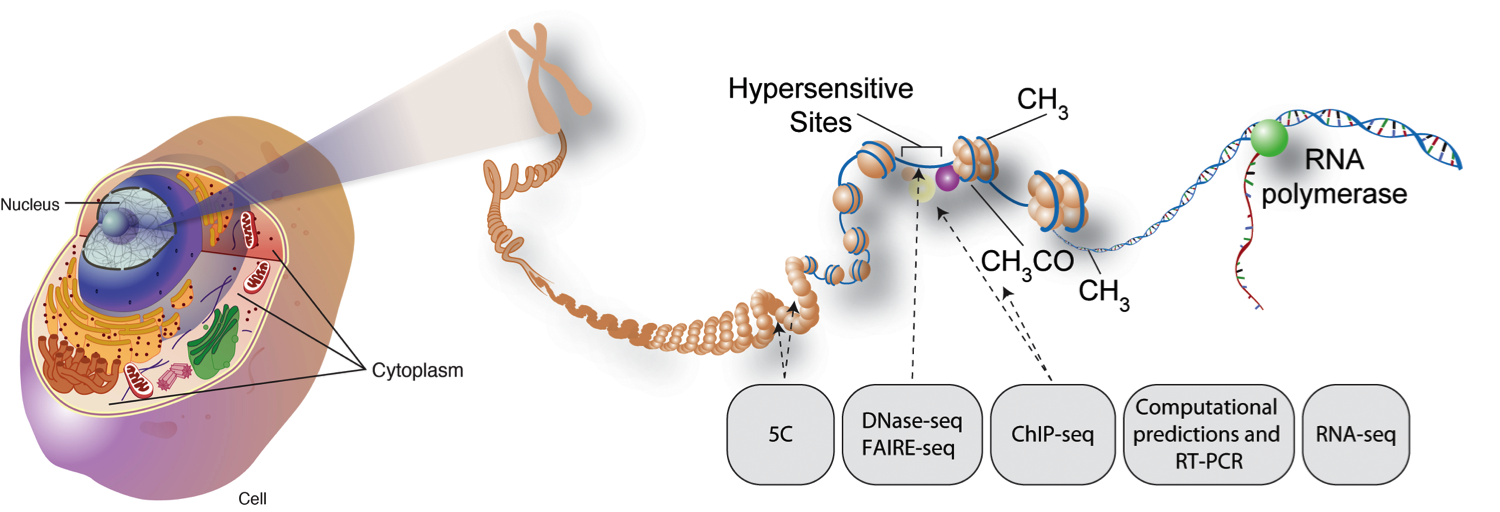 chromatin in a cell model - photo #22